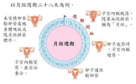 月經週期與荷爾蒙的關係